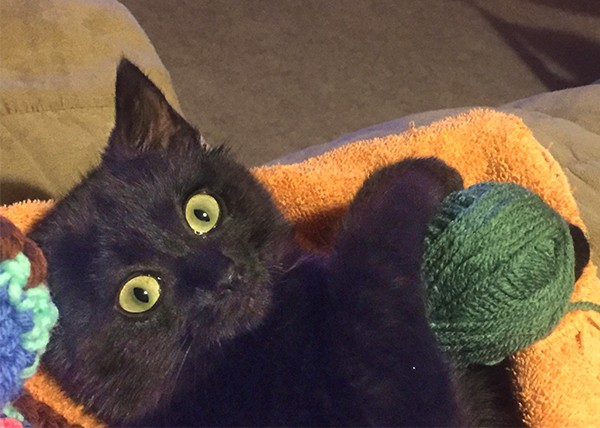 Formerly feral Gracie now enjoys helping her new mom with the knitting. And with crinkle balls. And wand toys.