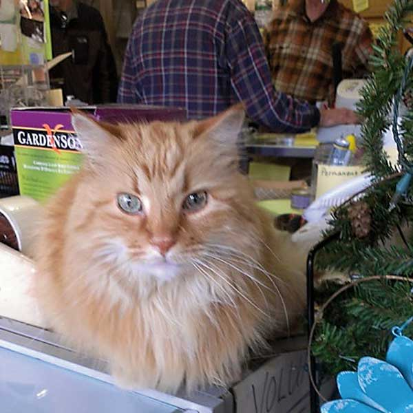 One of the cats does counter duty at the thrift store. (Photo by Angela Lutz)