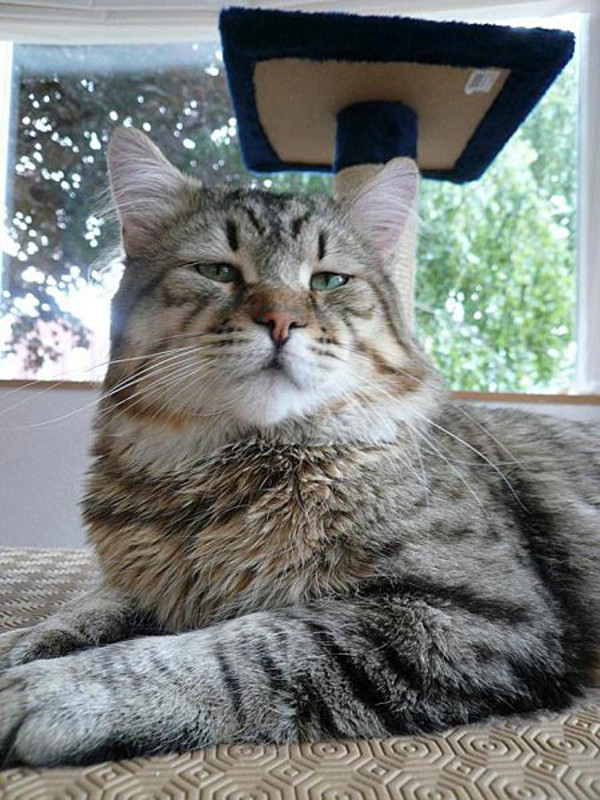 Get to Know the Pixiebob: The Bobcat of the Cat World - Catster