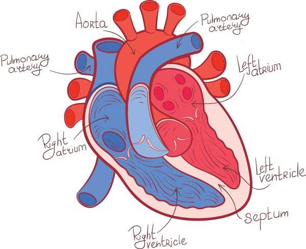 heart-diagram_266029472