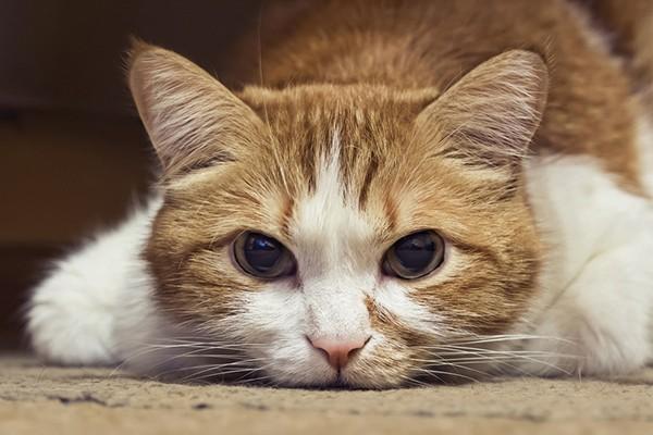 vet-anemia-cat-TN