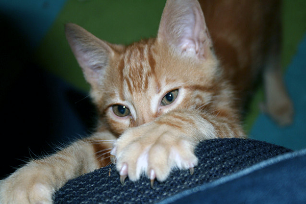 An orange kitten scratching on a piece of furniture.