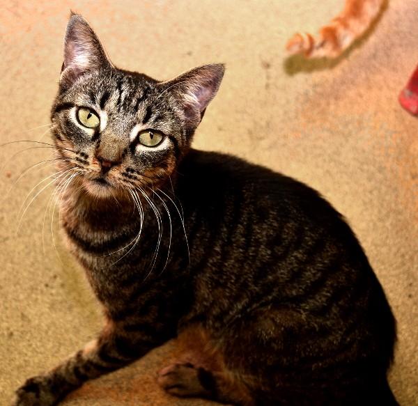 best-cat-house-pa-brown-tabby-floor
