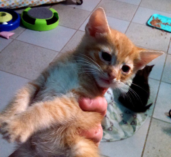 best-cat-house-pa-orange-kitten-01