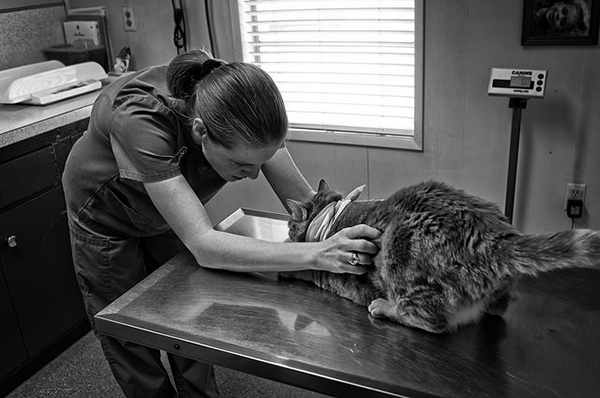 Cat being examined by a veterinarian