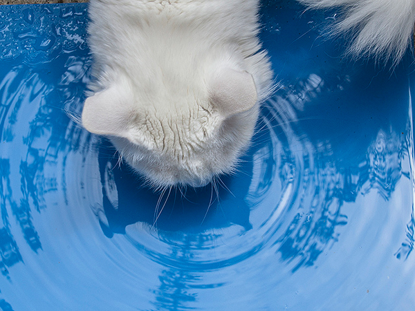 A white cat drinking water from a blue dish. Photo CC-BY Ze'ev Barkan