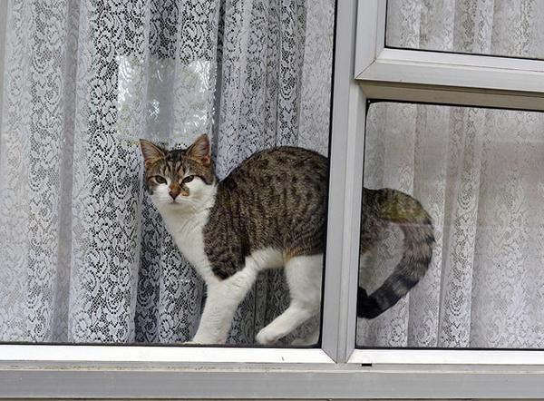A tabby cat in a window