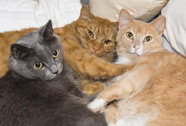 Three cats relaxing together. Photo by shutterstock