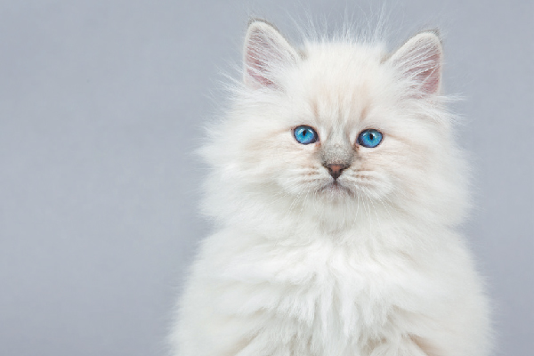 2408ec4620 All About the Siberian Cat Breed - Catster
