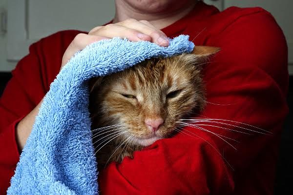 Collect your cat's scent by massaging her with a towel. Photo by Shutterstock