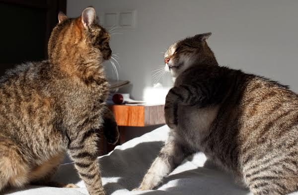 Two cats fighting. Photo by Shutterstock