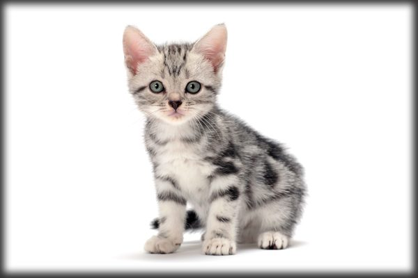 American Shorthair Cat Facts