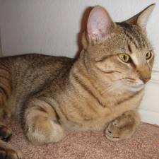 Pixie-Bob - Catster