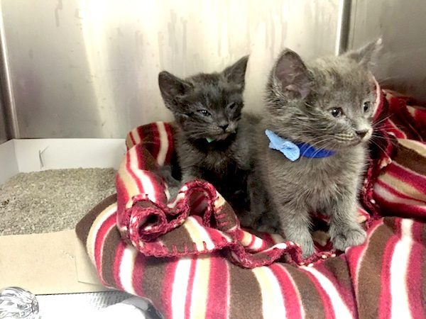 Animal service officers and Pinole firefighters rescued Ted, left, and Bill, right, Tuesday morning from an underground pipe after passersby reported hearing the kittens' cries, officials said. (Contra Costa County Animal Services Department)