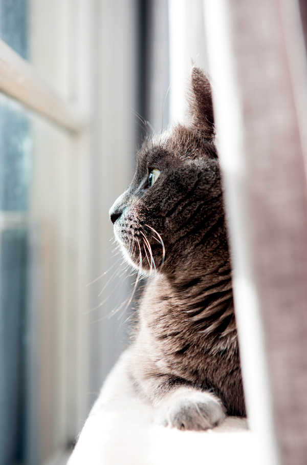 gray-cat-window-side-view-387669481