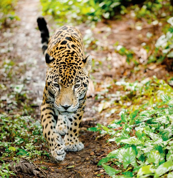 jaguar-382432579