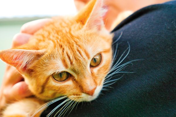 orange-cat-shoulder-384034510