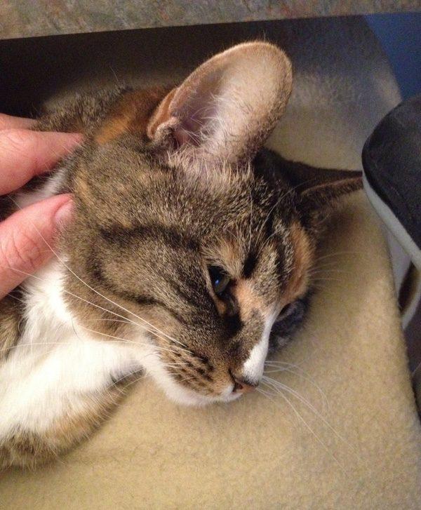 phoebe-purr-lap-cat