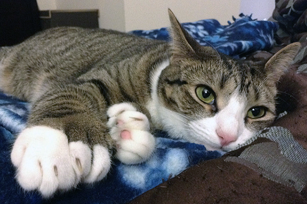 A polydactyl cat.