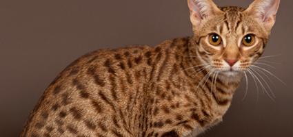 who s that cat 13 reasons that the ocicat is spot on catster