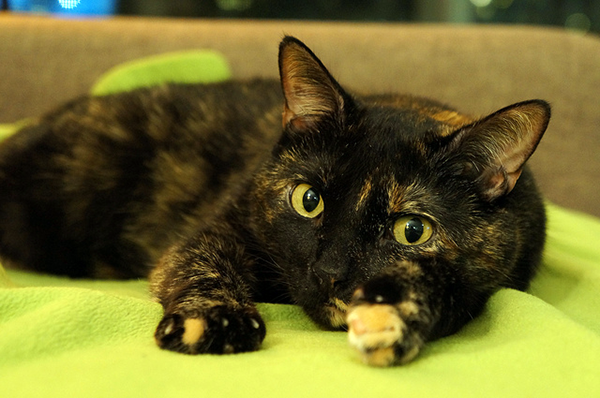 A tortiseshell cat, as opposed to a calico, is covered with small splotches of black and red. CC-BY-NC Augie Ray