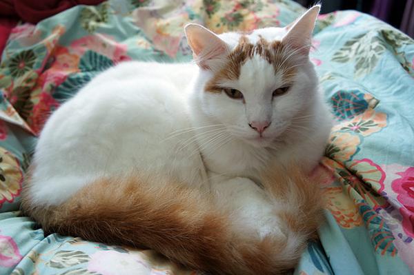 An orange van pattern cat. Photo CC-BY-SA Chris