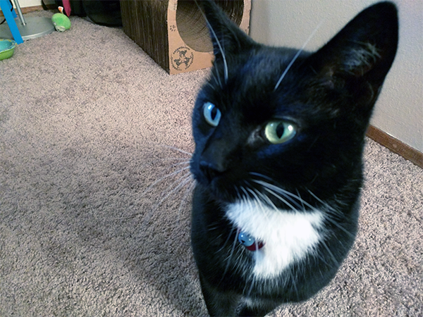 """My lovely Tara is a bicolor black and white with a pattern referred to as """"tuxedo."""""""