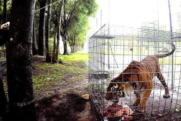 Big-Cat-Rescue-tropical-storm-prep-TN