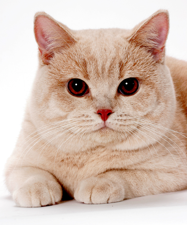 Breeds-British-Shorthair-01-ty