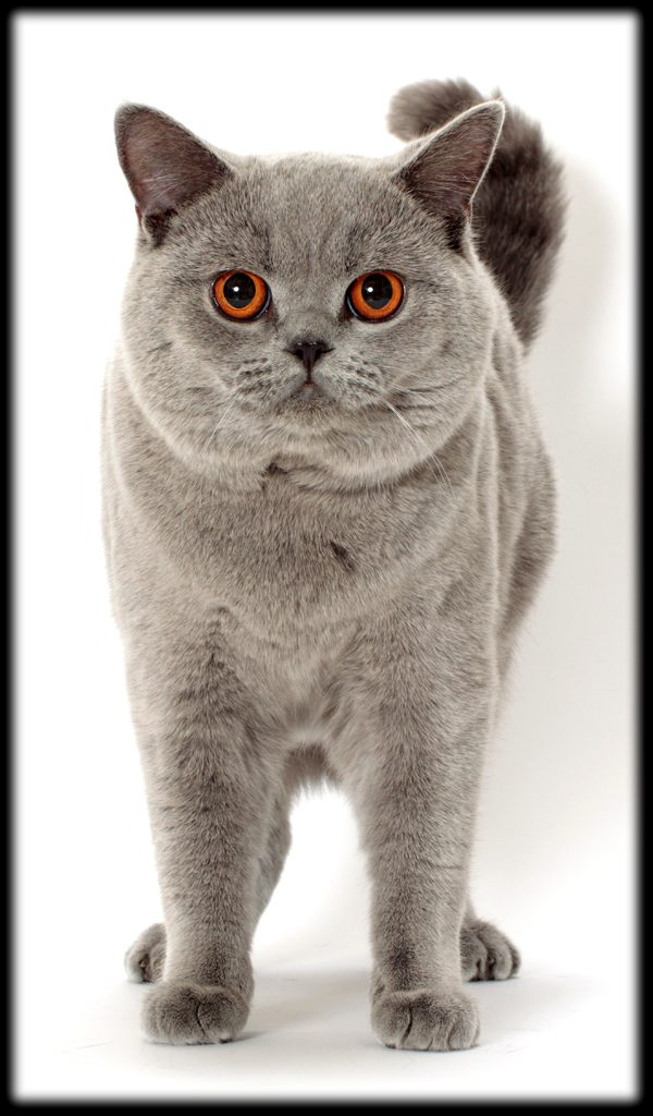 Breeds-British-Shorthair-02-ty