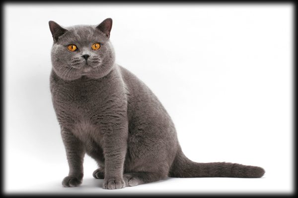 Breeds-British-Shorthair-03-ty