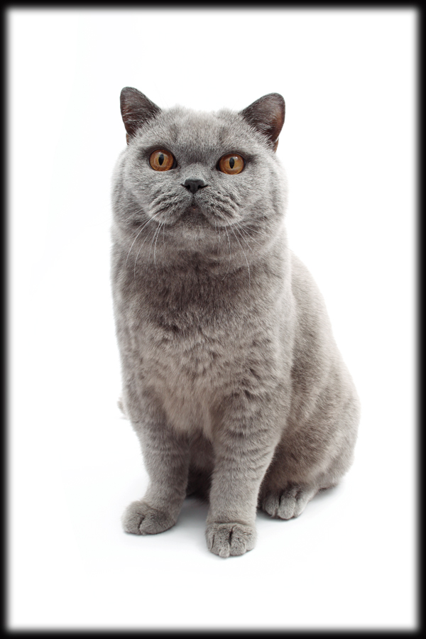 Breeds-British-Shorthair-18