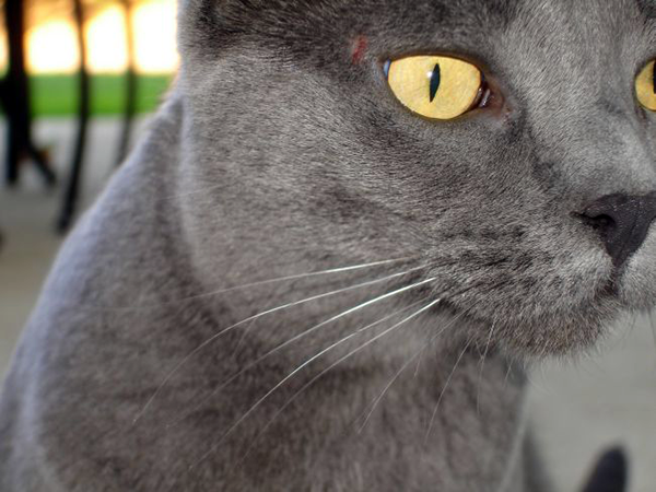 This gray cat is a dilute version of a black cat. Photo CC-BY Heather McLaughlin
