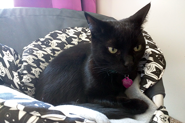 My Belladonna is a self-colored black cat.