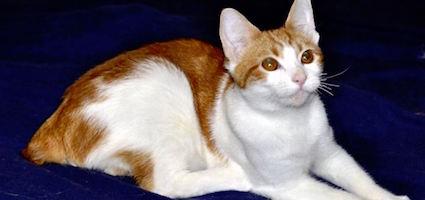 American Bobtail Cat Rescue