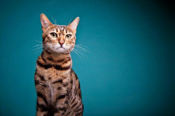 perfect-cat-photos-Bengal-HH
