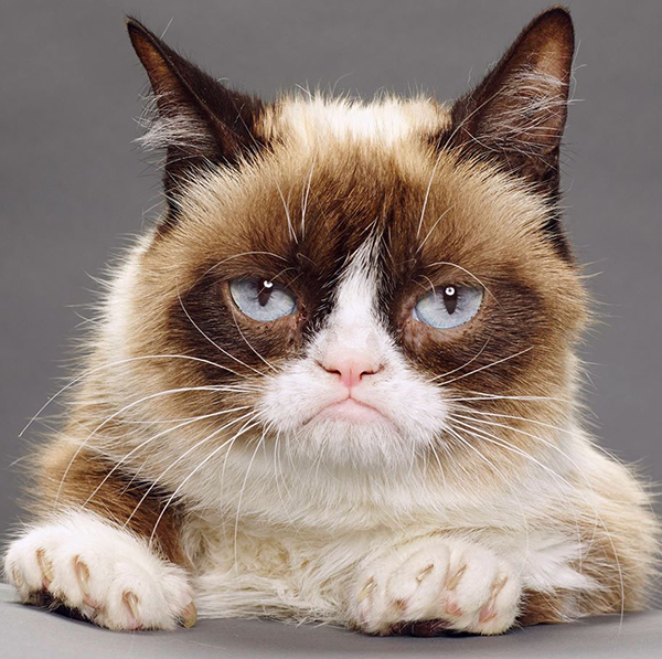 Grumpy Cat is a dwarf kitty