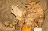 An orange cat surrounded by pumpkins, corn and Thanksgiving decor.