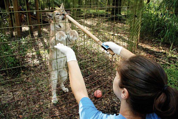 big-cat-Volunteer-2