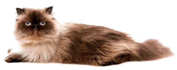 himalayan cat on white