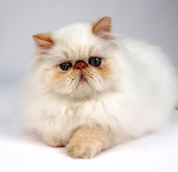 cat-breeds-himalayan-white-01