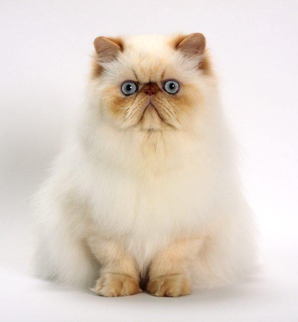 cat-breeds-himalayan-white-02