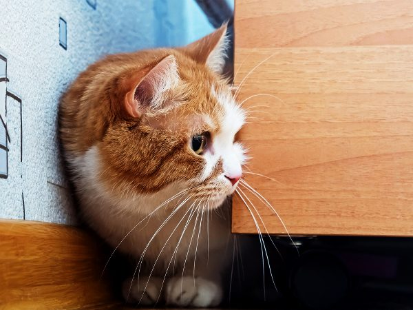 One way cats avoid confrontations is by hiding. Photo by Shutterstock