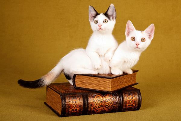 munchkin-kittens-dwarfism-cats