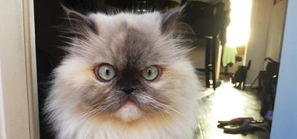meet lola aka foofy the fluffy cat who's a star on