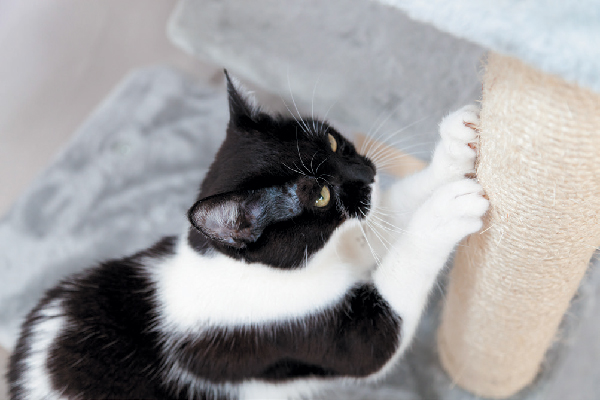 A black and white tabby cat scratching a scratching post.