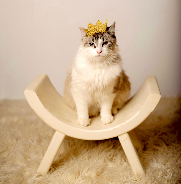 An annoyed Maine Coon kitten sitting on a stool, while wearing a golden crown.