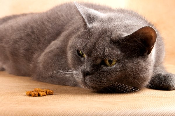 Cat refusing to eat. Photo by Shutterstock