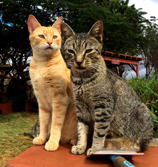 lanai-cat-sanctuary-01-orange+gray-tabby