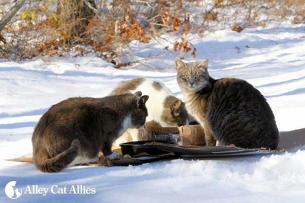 winter-tips-outdoor-cats-01